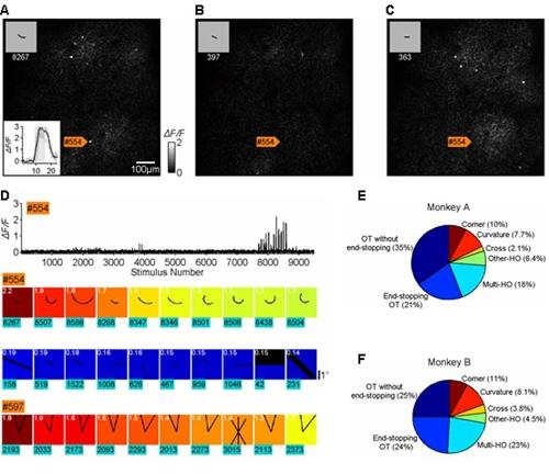 初级视皮层V1神经元对复杂形状的选择性