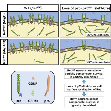"""""""p75蛋白在疼痛神经回路中的作用"""""""