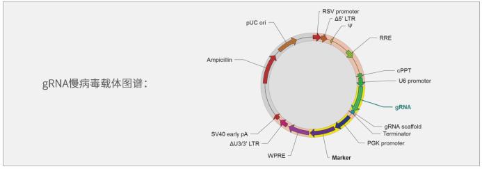 gRNA慢病毒载体介绍