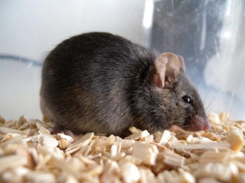 """""""基因敲除小鼠"""""""