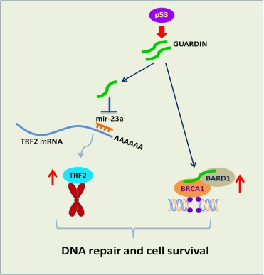 GUARDIN 维护基因组稳定的功能示意图
