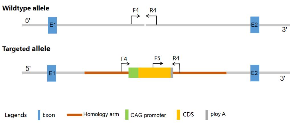 纯/杂合的基因型鉴定-引物设计