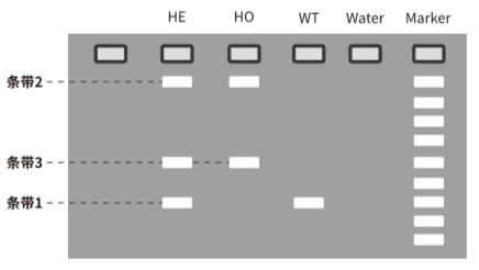 纯/杂合的基因型鉴定-电泳结果