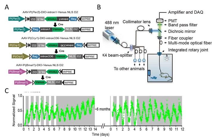 基于荧光报告系统的在体监测基因转录水平的新方法
