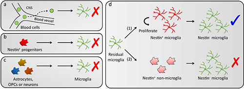 脑内再殖小胶质细胞的起源研究