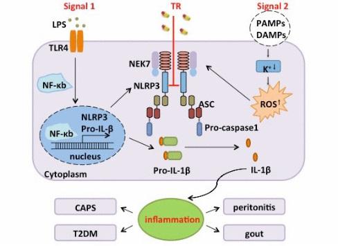 抑制NLRP3炎症小体的新机制