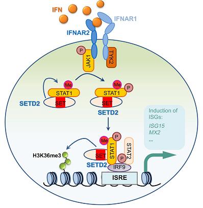 在IFNα作用下,甲基转移酶SETD2调控STAT1甲基化,增强抗病毒效应