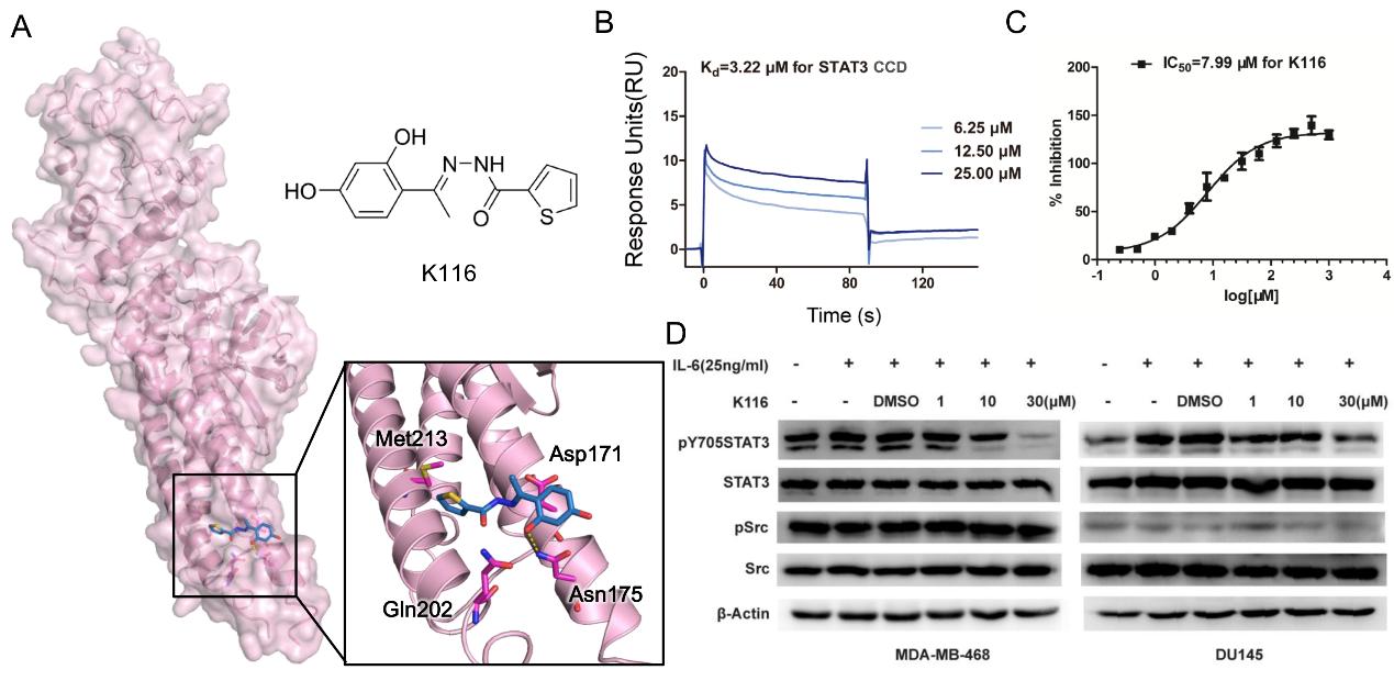 STAT3在C端coiled-coil结构域的全新变构位点及新型变构抑制剂