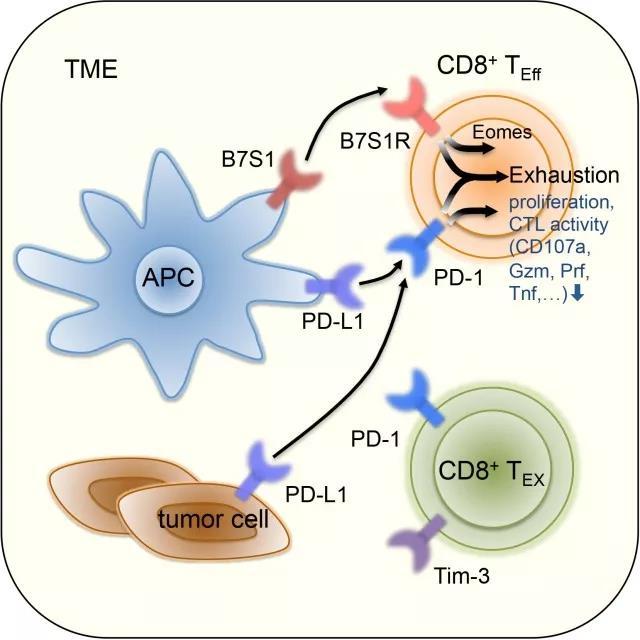 B7S1和PD-1信号共同促进T细胞衰竭