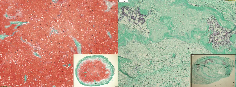 骨髓间充质干/基质细胞在体内发育8周后