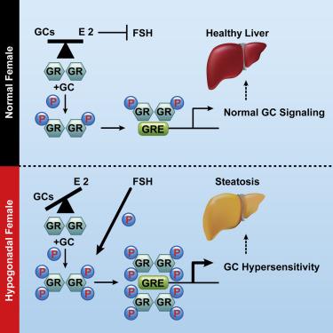 雌激素缺少对脂肪肝的影响研究