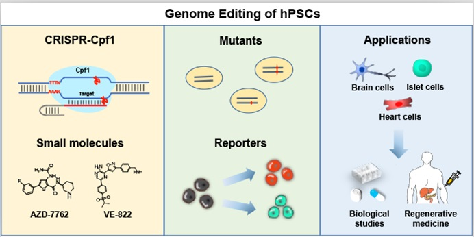 CRISPR-Cpf1与小分子药物组合,实现对人多能干细胞进行精准基因编辑,促进基础研究和临床转化