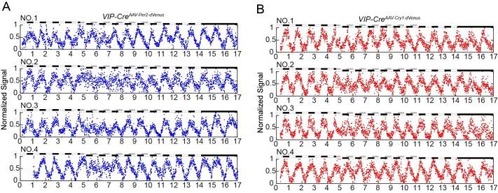 8小时的时差提前对Per2和Cry1基因的相位和振幅的影响