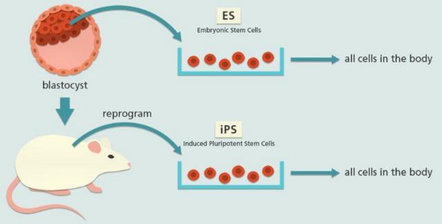 用 iPSCs 来代替胚胎干细胞成为疫苗