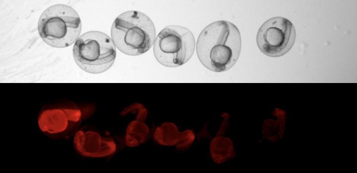 斑马鱼细胞