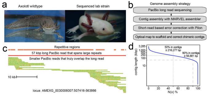 Axolotl全基因组序列测定及组装