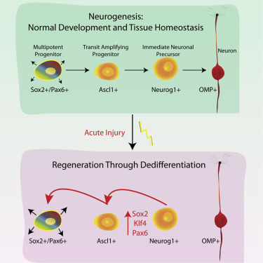 Injury Induces Endogenous Reprogramming and Dedifferentiation of Neuronal Progenitors to Multipotency
