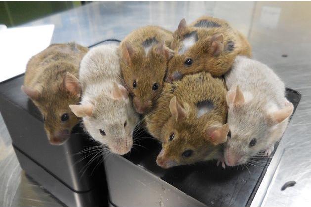 完全体外诱导人工卵子受精发育成的小鼠