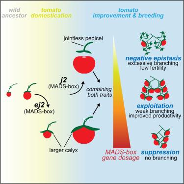 分枝番茄的变异种