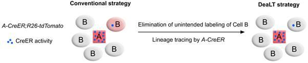 """""""DeaLT策略可以阻断CreER在B细胞中的非特异性的同源重组反应,实现A细胞特异性的谱系示踪"""""""