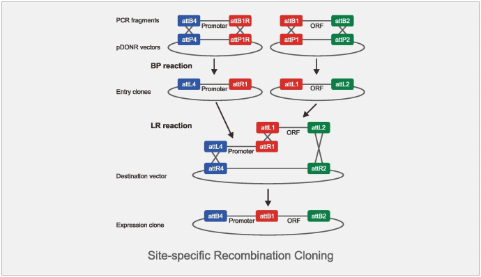 site-specific recomination cloning