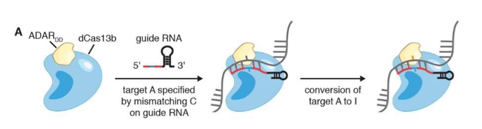 一步简单反应,就能将腺嘌呤转为与鸟嘌呤类似的肌苷