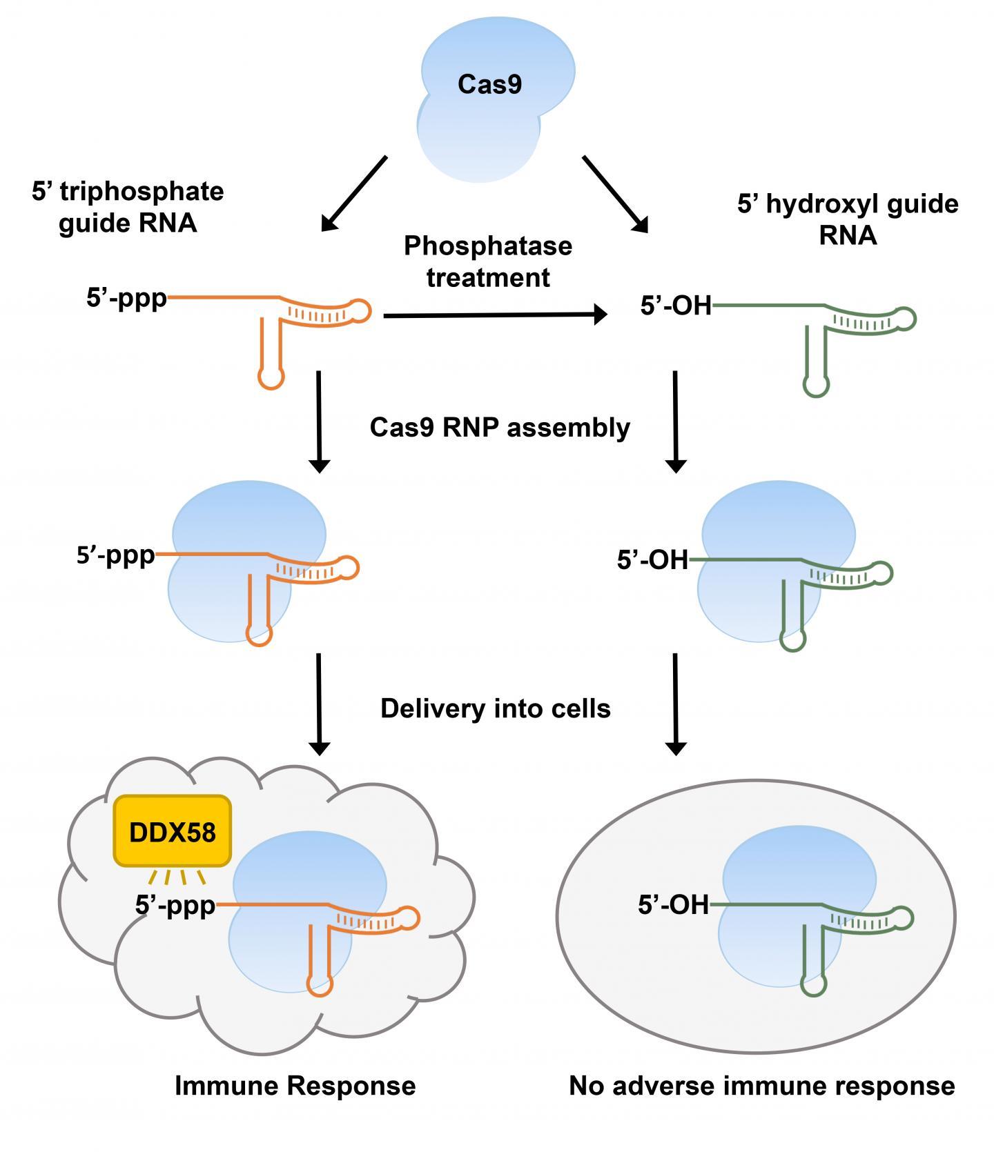 体外转录CRISPR引导RNA在细胞中引发先天性免疫应答,但这可以通过去除三磷酸部分来预防
