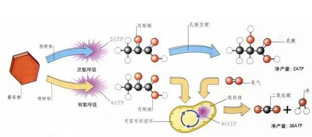 细胞呼吸作用代谢途径