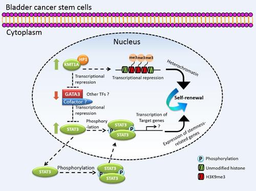 人膀胱癌干细胞KMT1A-GATA3-STAT3信号通路模型