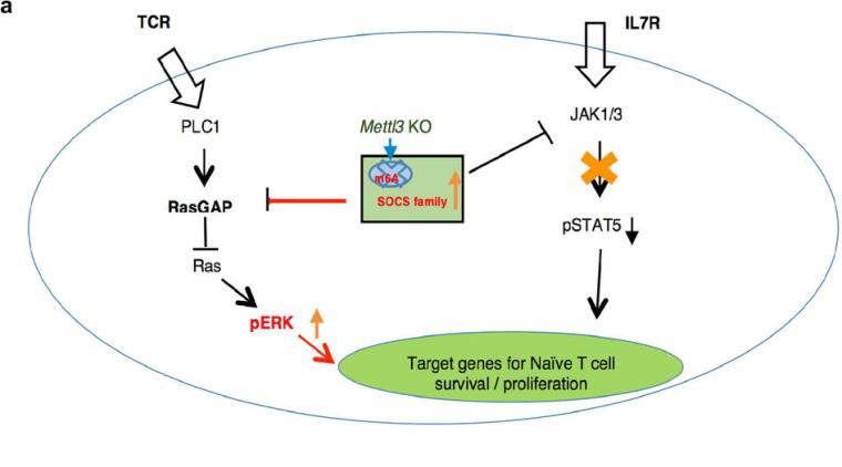 m6A修饰调控T细胞