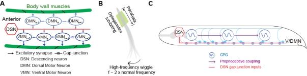 线虫前进运动环路电突触连接示意图