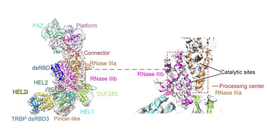 冷冻电镜解析获得的人源Dicer-TRBP复合体高分辨率结构及其结构域分布