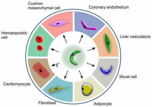 心内膜细胞多能性示意图