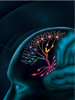 人脑前额叶细胞发育图示