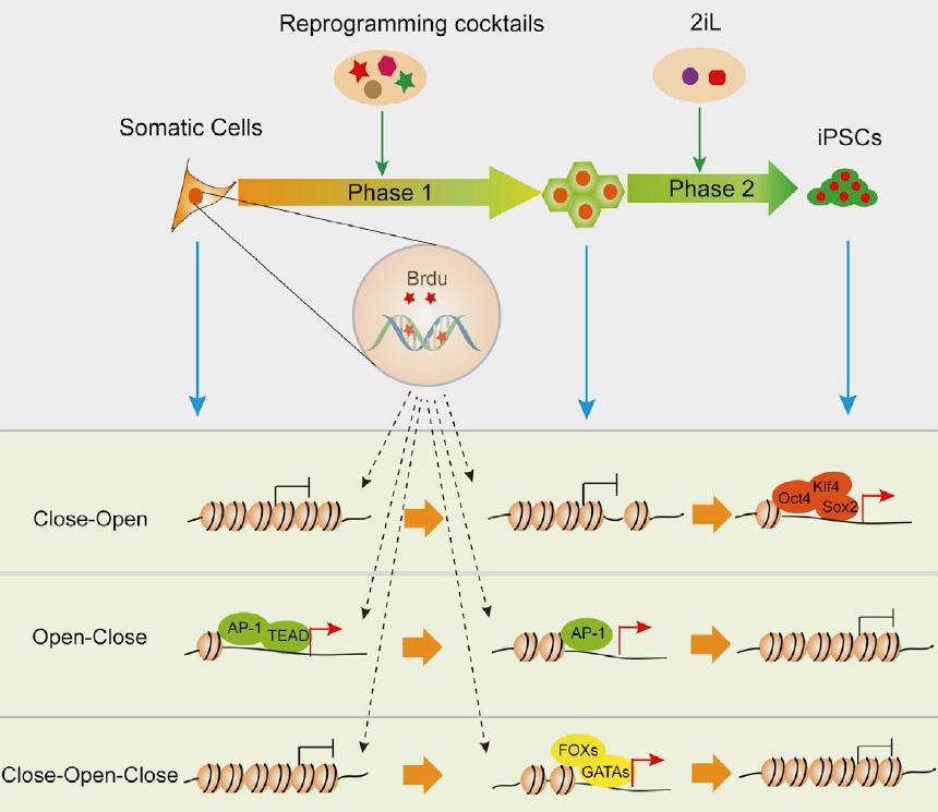 高效诱导多能干细胞的新方法