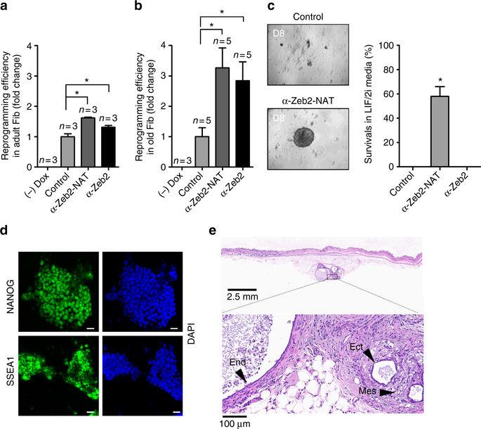 敲低Zeb2-NAT后,老年成纤维细胞重编程效率升高