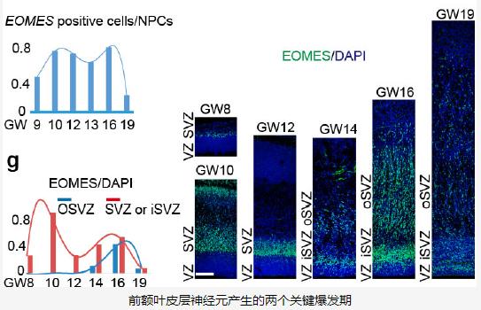 前额叶皮层神经元产生的两个关键爆发期