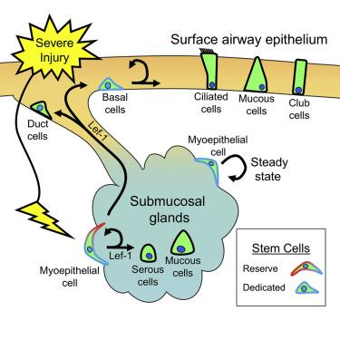 可塑性干细胞