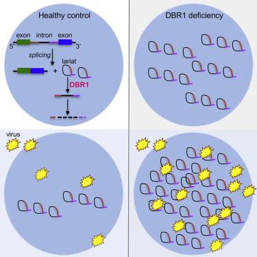 Cell研究揭示病毒性脑炎的患病原理