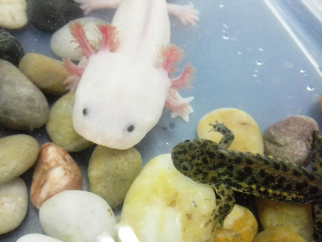 axolotl和newt