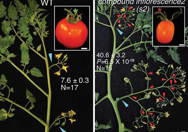 野生番茄(左)和复杂花穗的番茄(右)