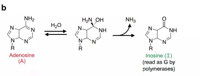 合适的脱氨反应能将腺嘌呤转变为结构类似于鸟嘌呤的肌苷