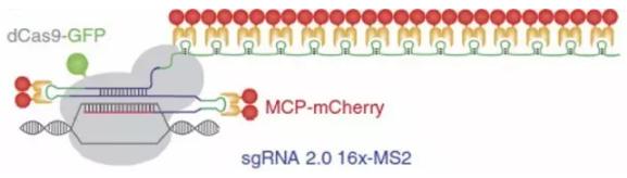 CRISPR/Cas9 系统