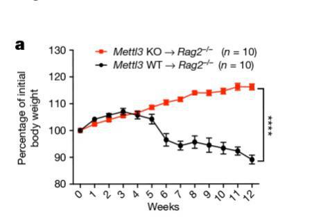 Mettl3 KO Naive T细胞转输至RAG2-/-小鼠体内