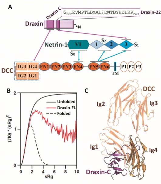 特殊复合体对神经元轴突导向的调控作用