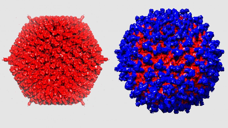 普通腺病毒(左);被蛋白涂层包裹的腺病毒(右)