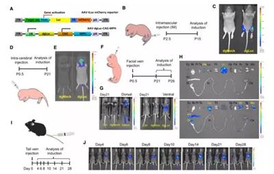 这套系统能在小鼠的多个器官里起作用