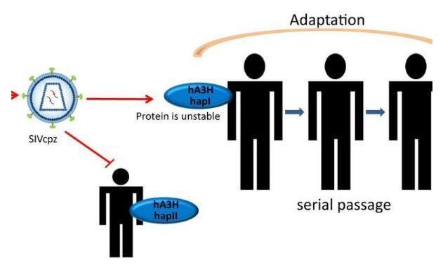 一种抗病毒蛋白有望防止黑猩猩HIV前体传播