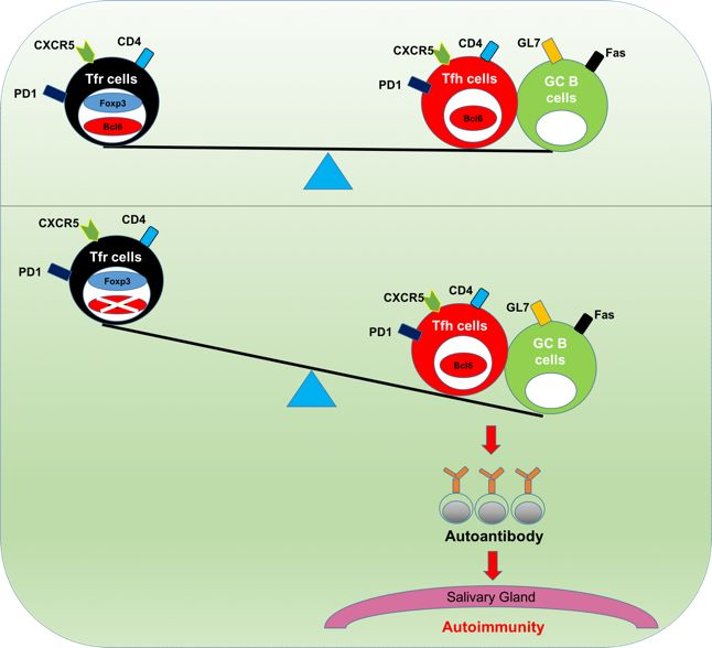 Tfh细胞对自身免疫病调控的功能研究