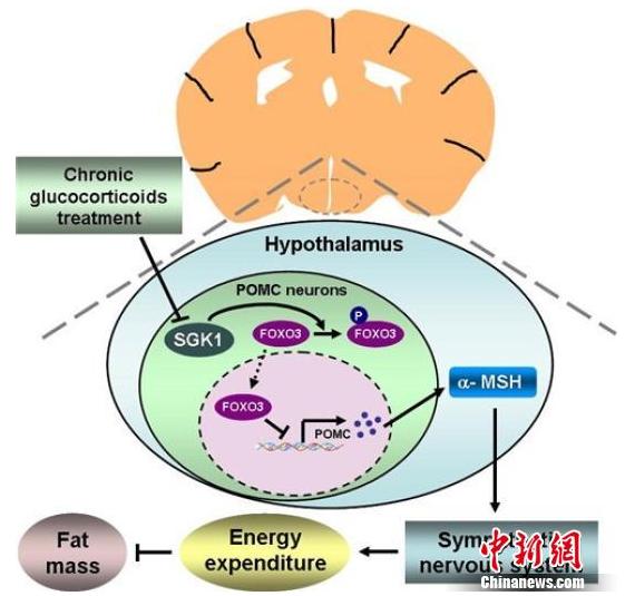 """中国科学家揭秘""""激素引起肥胖""""机理"""